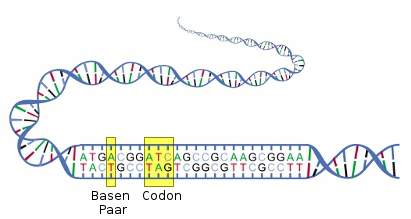 DNA-Diagramm